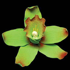 Cymbidium Single - Green